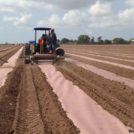 Biodegradable Mulch being applied in production