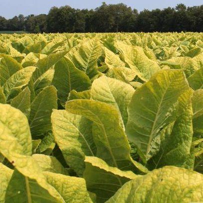 Burley Tobacco field