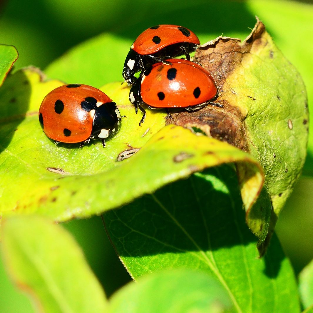 Beetles on leaves