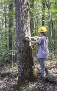 Forester taking measurements of trees