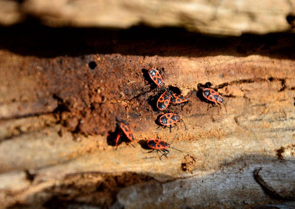 Firebugs on wood